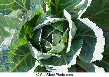 White cabbage in the garden. Close up on Fresh cabbage in ...
