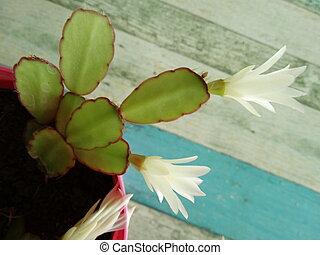 White Cactus Blossom