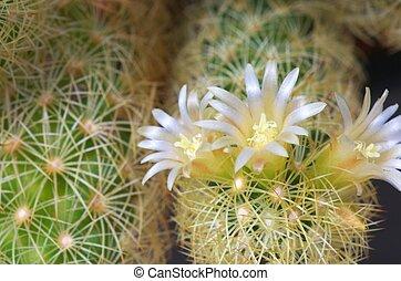 white cactus flower