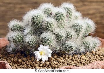 White cactus flower.