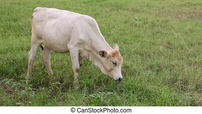 White calf peacefully eating grass on a green meadow -...