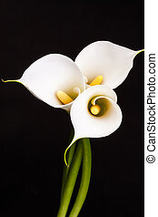 White Calla lilies over black background.