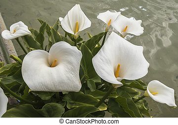 White Callas lilies at the corner of a pond