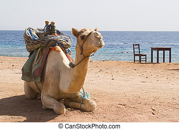 White camel sits against the sea, chair and table
