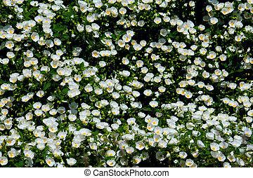 White Camellia Bush in Springtime - A riot of white camellia...