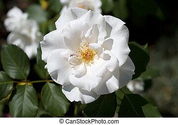 White camellia - Photo of white camellia and leaves