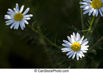 White camomile on black background