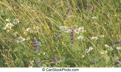 White camomiles mixed with weeds, t