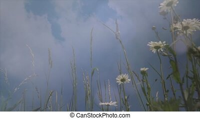White camomiles ,wildflowers, wildflower in the meadow 2 -...