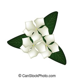 White Cape Periwinkle Flowers or Madagascar Periwinkle...