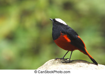 white-capped redstart riverchat