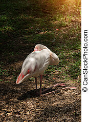 White Caribbean flamingo are sleeping on the ground.