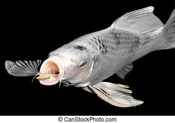 White carp koi on black background - Closeup white carp koi...