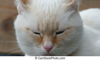 white cat close up face blue eyes portrait of the muzzle -...