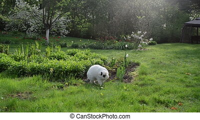 white cat eat grass dew - White cat pet with spots eating...