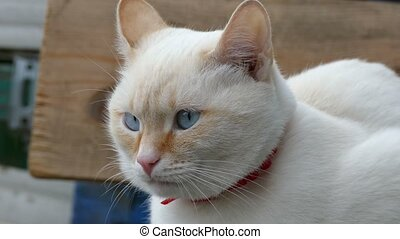 white cat face blue eyes she closes her eyes portrait of...