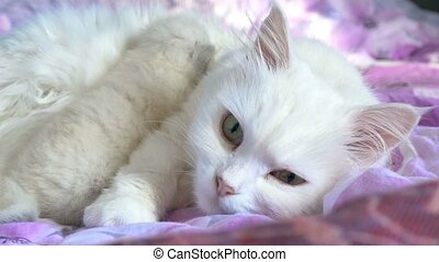 white cat feeding kitten lying on care and bed love