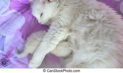 white cat feeding kitten lying on the care and love bed