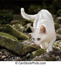 Snow-white cat in the wilderness, stalking on stones and looking for prey