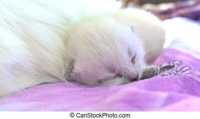 white cat kitten sleeping on a bed