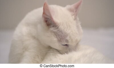 White cat licking himself on the bed.