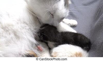 White cat licking his newborn kitten, closeup