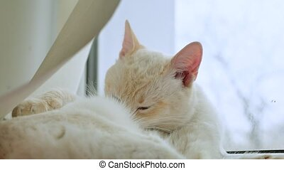 white cat licks clean hair, lying on a windowsill at pet the window