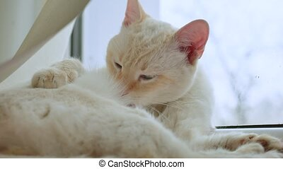 white cat licks clean hair, lying on a windowsill at the window, a pet