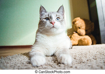 white cat lying on a carpet in the pose of the Sphinx looking up