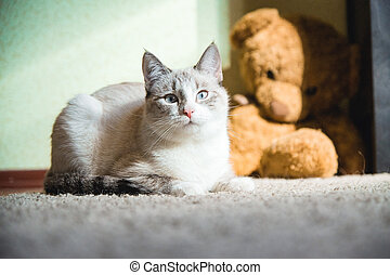 white cat lying on a carpet with teddy bear on the background looking at you