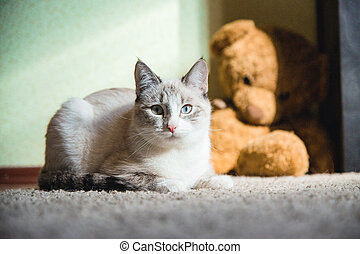white cat lying on a carpet with teddy bear on the background looking straight