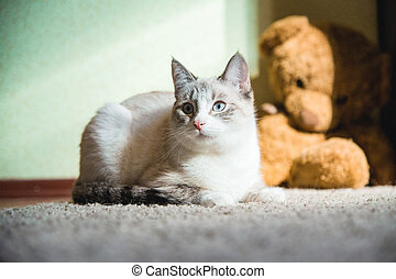 white cat lying on a carpet with teddy bear on the background looking to the side