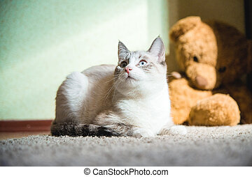 white cat lying on a carpet with teddy bear on the background looking to the side up
