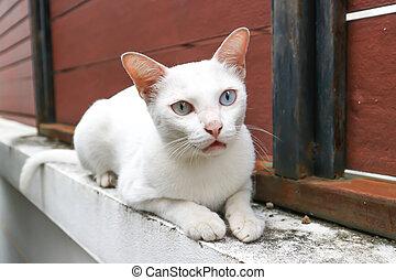 white cat or Thai cat