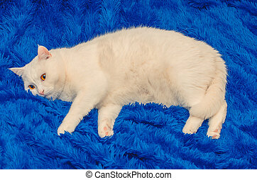 white cat resting on a blue sofa