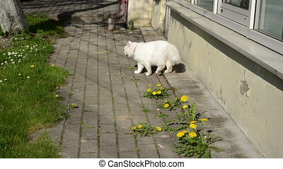 white cat walk sowthistle