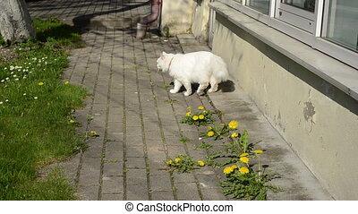 white cat walk sowthistle