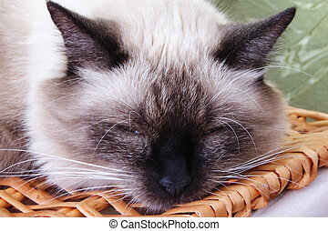 White cat with a black nose is sleeping, closeup portrait