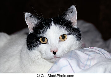 White cat with black ears and yellow eyes