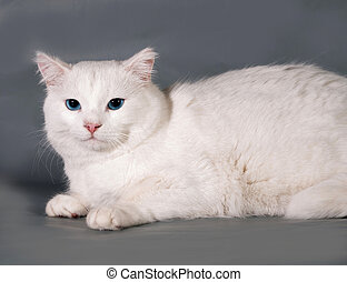 White cat with blue eyes lying on gray