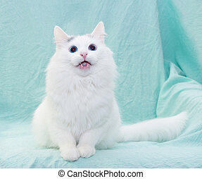 White cat with blue eyes meowing sitting
