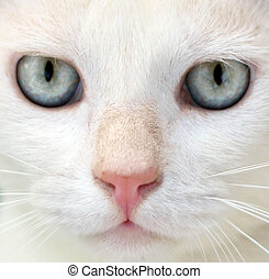 White cat with blue eyes portrait