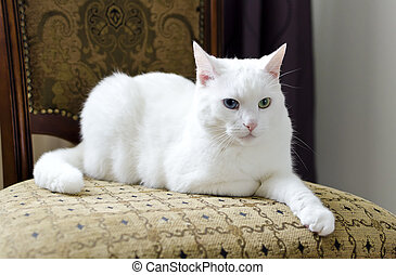 White cat with different eyes lying on a chair