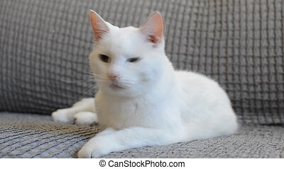 White cat with different eyes lying on sofa.