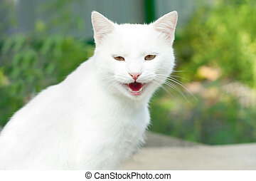 White cat yawning