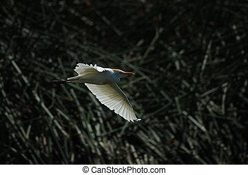 White Cattle Egret Flying