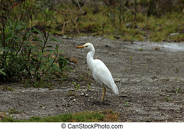 White Cattle Egret in a Meadow
