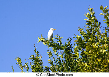 White Cattle Egret in a tree