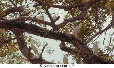 White cattle egrets in a tree. Filmed on location in Costa...