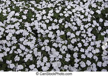White Cayenne Jasmine Flower Background